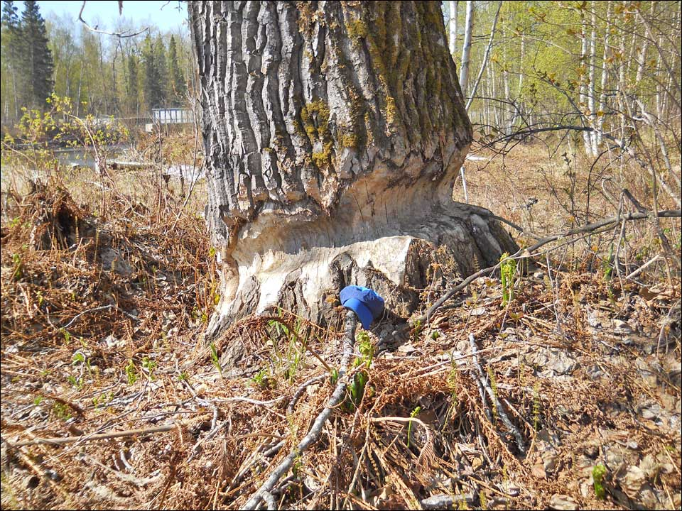 Six foot diameter cottonwood almost felled by beavers.