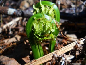 Fiddlehead fern sprouts emerging.