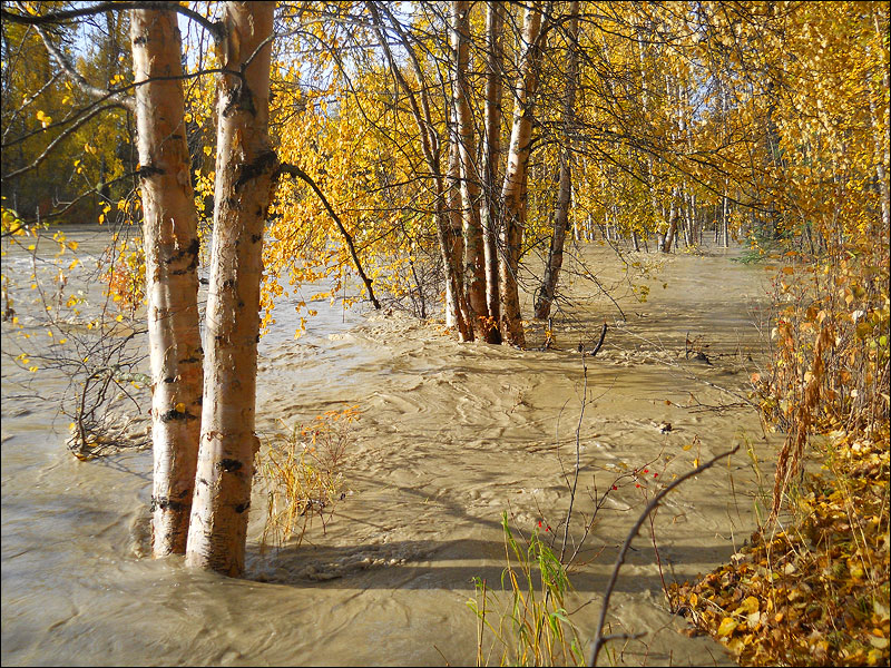 River water flowing through the birch trees, Talkeetna Alaska