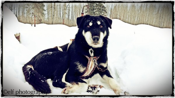 Ajax, lead sled dog, Talkeetna, Alaska