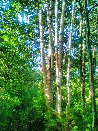 White birch trunks in the morning sun on the trail