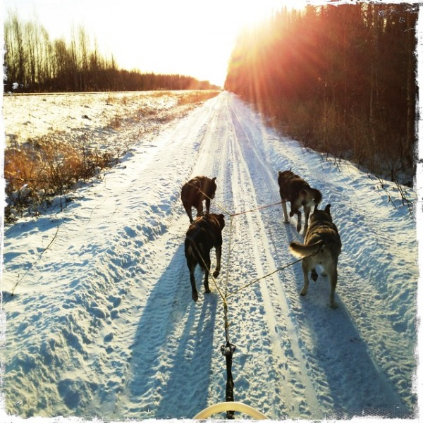 Dog team on the trail, Talkeetna Alaska