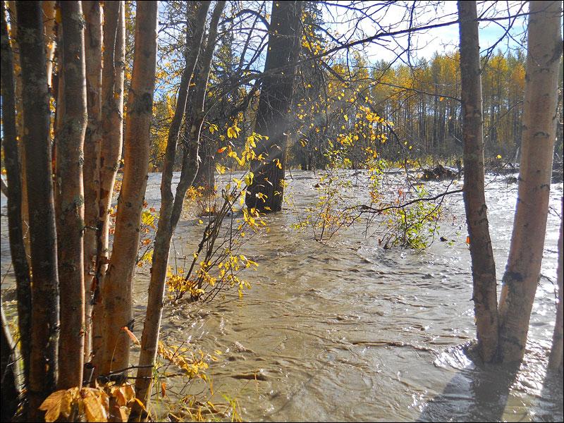Talkeetna river flows through birch trees in flood of September 2012