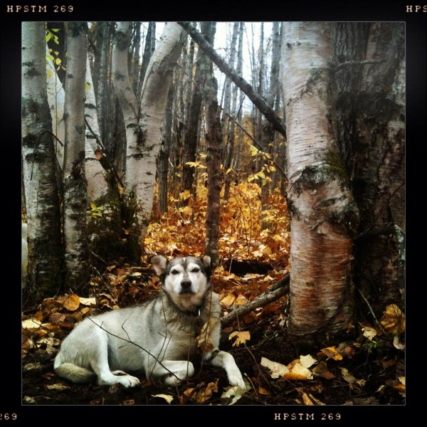 Lead dog Jenny in the woods.